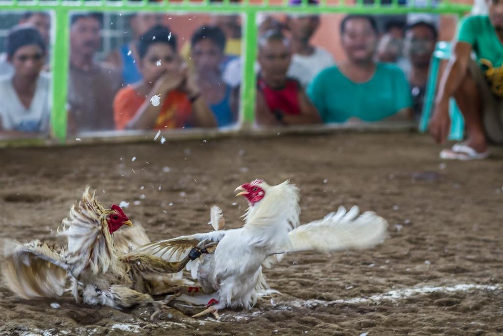 Judi Ayam Terpopuler